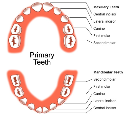Chart of children's teeth with their names